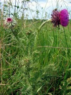 Musk Thistle - Kristian Peters CC BY-SA 3.0
