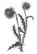 Musk Thistle - pub domain - Amédée Masclef - Atlas des plantes de France. 1891