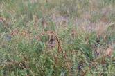 Narrowleaf Goosefoot (2)