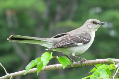 Northern Mockingbird Mimus_polyglottos_By Captain-tucker