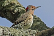Northern_Flicker_male_Yellow-shafted_By Dick Daniels