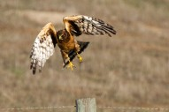 Northern_Harrier_By Kevin Cole from Pacific Coast, USA