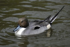 Northern_pintail_By Mehmet Karatay