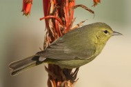 Female Orange-crowned Warbler (vermivora celata)