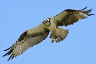 Osprey_in_flight_over_Lake_Wylie By Gareth Rasberry