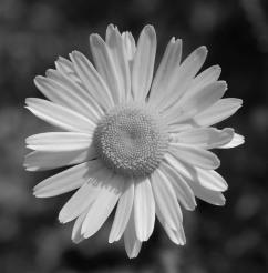 Oxeye Daisy - Derek Ramsey CC BY SA 3.0