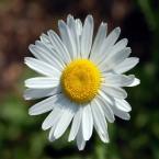 Oxeye Daisy - (c) 2008 Derek Ramsey - CC BY-SA 3.0.