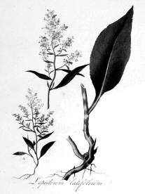 Perennial Pepperweed - Jan Kops - Flora Batava-Volume_v2