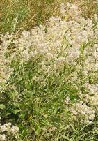 Perennial Pepperweed - Michael Becker - CC BY-SA 3.0