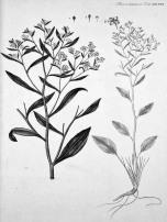 Perennial Pepperweed - Pub domain