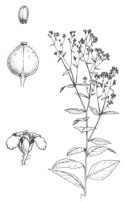 Perennial Pepperweed permission request
