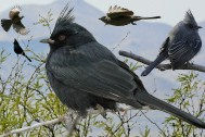 Phainopepla_From_The_Crossley_ID_Guide_Eastern_Birds By Richard Crossley