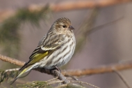 Pine Siskin by Cephas