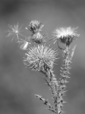 Plumeless Thistle - cc by 3.0
