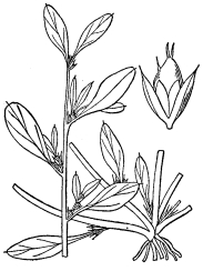 Prostrate Pigweed - Drawing