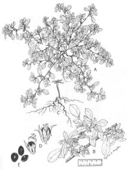 Prostrate Pigweed - USDA