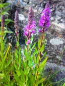 Purple Loosestrife - Bjoertvedt CC BY-SA 3.0