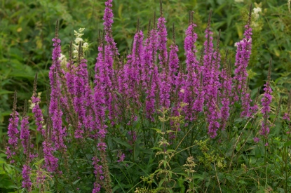 Purple Loosestrife - GartenAkademie - CC SA-BY 3.0