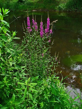 Purple Loosestrife - Water - H. Zell - CC BY-SA 3.0