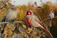 Pyrrhuloxia_From_The_Crossley_ID_Guide_Eastern_Birds By Richard Crossley