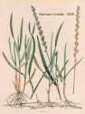 Quackgrass - Norman Criddle 1909