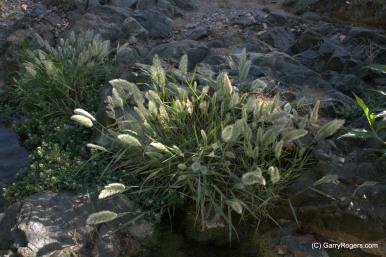 Rabbitsfootgrass - 2 - GR