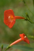 Red Morningglory