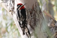 Red-naped Sapsucker by Dominic Sherony