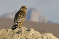 Red-shouldered Hawk (bird) (Buteo lineatus) in the Cloisters City Park in Morro Bay, CA