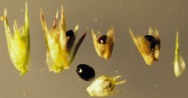 The light colored fruits have a cap that falls off to release the enclosed dark seed. The flower bracts are spine-tipped and the sepals are thin small membranes with rounded to blunt tips.