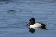 Ring-necked_Duck_Aythya_collaris By Alan Vernon