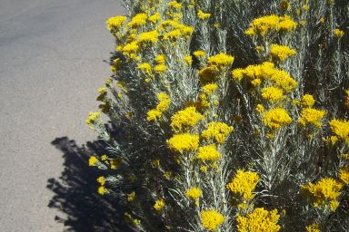 Rubber Rabbitbrush by Fred Bauder CC BY-SA 3.0