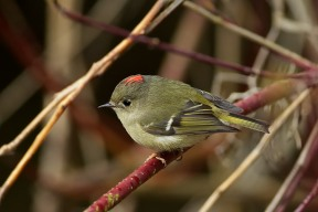 Ruby-crowned Kinglet by Greg Thompson