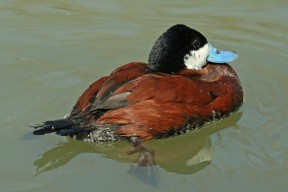 Ruddy_Duck_(Oxyura_jamaicensis)_By Dick Daniels