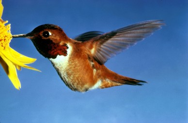 Rufous Hummingbird Selasphorus_rufus By Dean E. Biggins