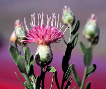 Russian Knapweed - USGS Pub Domain