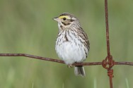 Savannah Sparrow by MDF