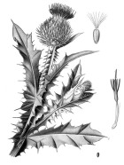 Scotch Thistle - Pub Domain