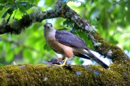 Sharp_shinned_hawk_By Abdoozy