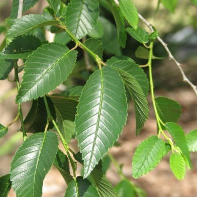 Siberian Elm Leaves - Melburnian - CC BY-SA-3.0