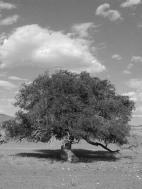 Siberian Elm_in_Gobi_Desert - Tiarescott - TerraNova, le désert de Gobi