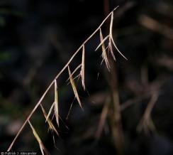 Sixweeks Needle Grama - Patrick J. Alexander - hosted by the USDA-NRCS PLANTS Database