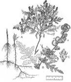 Skeletonleaf Bursage - USDA (Regina O. Hughes)