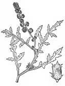 Skeletonleaf Bursage - Wikipedia - Pub Domain