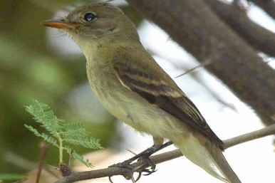Southwestern_Willow_Flycatcher By Jim Rorabaugh USFWS