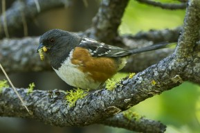 Spotted_Towhee_By Francesco Veronesi from Italy