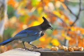 Steller's_Jay_By tracie7779