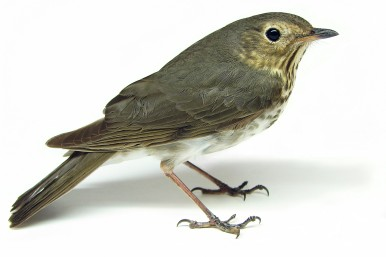 Swainson's Thrush Catharus_ustulatus_By Matt Reinbold from Bismarck, ND, USA