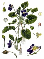 Sweet Violet - Metcliff - Pub Domain
