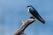 Tree_Swallow_By Peter Wilton